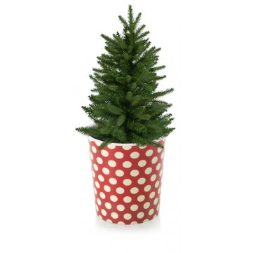 Grow your own Christmas tree11244800